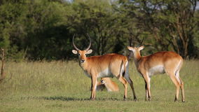 Playful red lechwe antelopes stock video footage