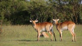 Playful red lechwe antelopes Stock Photos