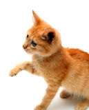 Playful red small cat. Isolated on white Royalty Free Stock Photo