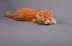 Playful red solid maine coon kitten with hunting look and beauti Stock Photography