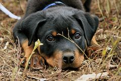 Playful Rottweiler Puppy Stock Photography