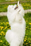 Playful puppy Samoyed dog on its hind legs Stock Images