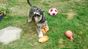 Playful Schnauzer. A cheeky playful miniature Schnauzer rears up an egg box stock photography