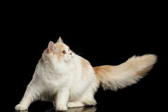 Playful Scottish Highland Straight Cat with Furry Tail Isolated Black Royalty Free Stock Photography