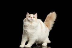 Playful Scottish Highland Straight Cat with Furry Tail Isolated Black Royalty Free Stock Images