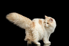 Playful Scottish Highland Straight Cat with Furry Tail Isolated Black Royalty Free Stock Photos