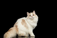 Playful Scottish Highland Straight Cat with Furry Tail Isolated Black Stock Photography