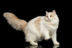 Playful Scottish Highland Straight Cat with Furry Tail Isolated Black Stock Image