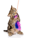 Playful scottish kitten biting toy. isolated on white background Royalty Free Stock Image
