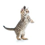 Playful scottish kitten isolated on white Stock Images