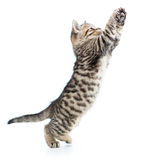 Playful scottish kitten jumping up isolated Royalty Free Stock Photos