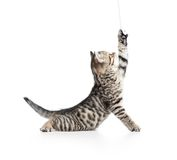 Playful scottish kitten looking up Royalty Free Stock Photo