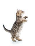 Playful scottish kitten looking up isolated Stock Image