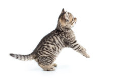 Playful scottish kitten looking up Stock Images
