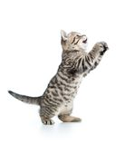 Playful scottish kitten looking up isolated on white Royalty Free Stock Photos