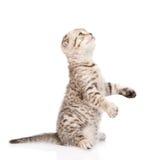 Playful scottish kitten looking up. isolated on white background Royalty Free Stock Image