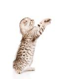 Playful scottish kitten looking up. isolated on white background Stock Photography