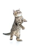 Playful scottish kitten looking up on white Royalty Free Stock Image