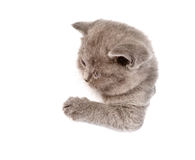 Playful scottish kitten in paper side torn hole. isolated Stock Photos