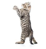 Playful scottish pet kitten looking up Stock Image