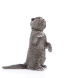 Playful scottish shorthair kitten standing on hind legs. isolated Royalty Free Stock Photo
