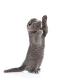 Playful scottish shorthair kitten standing on hind legs. isolated Royalty Free Stock Image