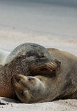 Playful Sea Lions. Sea lions playing on the beach Stock Images