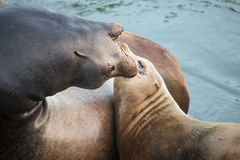 Playful sea lions Royalty Free Stock Photo