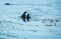 Playful Sea Otters. Sea Otters playing, Morro Bay, California Stock Image