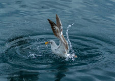 Playful Seagull Royalty Free Stock Photography