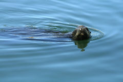 Playful Seal. A playful seal pokes his head out of the water to look around Royalty Free Stock Photography