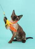 Playful seal point devon rex cat with blue eyes catching a feathered toy on a mint blue backgroun Royalty Free Stock Image