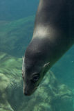 Playful Seal. Seal underwater looking at the camera Royalty Free Stock Image
