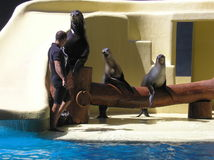 Playful Seals Royalty Free Stock Photography
