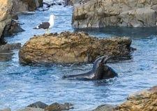 Playful Seals Stock Image