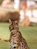 Playful serval cat Leptailurus serval. Plays with a toy on the grass in spring royalty free stock photography