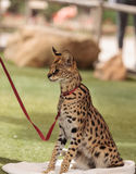 Playful serval cat Leptailurus serval. Plays with a toy on the grass in spring royalty free stock image