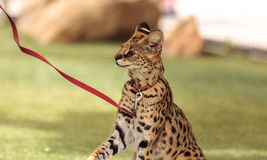 Playful serval cat Leptailurus serval. Plays with a toy on the grass in spring stock image