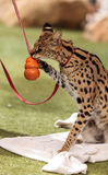 Playful serval cat Leptailurus serval. Plays with a toy on the grass in spring stock images