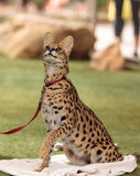 Playful serval cat Leptailurus serval. Plays with a toy on the grass in spring royalty free stock photos