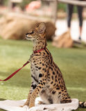 Playful serval cat Leptailurus serval. Plays with a toy on the grass in spring stock photography