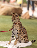 Playful serval cat Leptailurus serval. Plays with a toy on the grass in spring royalty free stock images