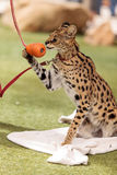 Playful serval cat Leptailurus serval. Plays with a toy on the grass in spring stock photos