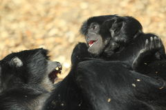 Playful siamangs Royalty Free Stock Photography