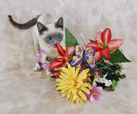 Playful Siamese Kitten Stock Photo