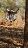 Playful Sifaka Lemur Stock Photo