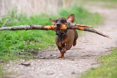 Playful small brown dachshund running in the woods on a sandy road and retrieving a big branch for fun. Playful small brown dachshund running in the woods Stock Images