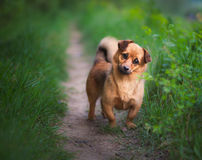 Playful small dog Royalty Free Stock Photo