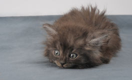 Playful small kitty. Lurking and playing a small persian kitty Stock Photos
