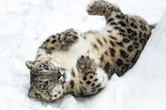Playful Snow Leopard II Stock Photography